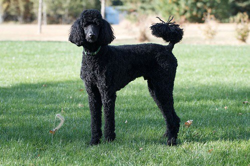 Black Standard Poodle on Grass Field