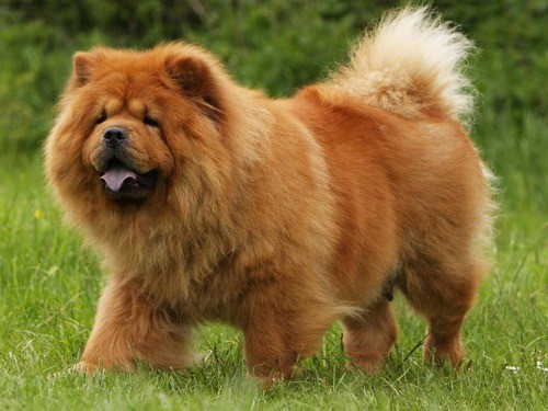 Chow Chow on Grass Field