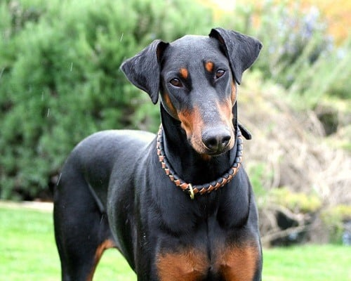 Doberman Pinscher German Dog Breeds
