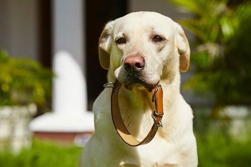 Labrador Holding a Collar