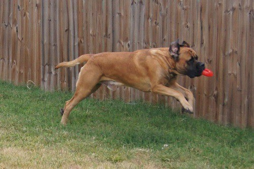 Mastiff Exercising in Backyard