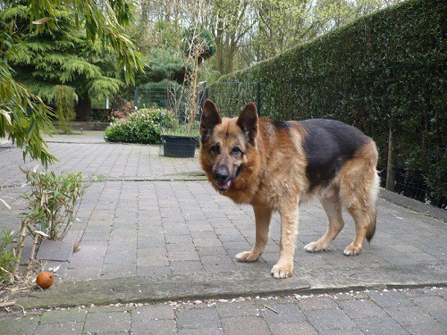 Old German Shepherd in Backyard