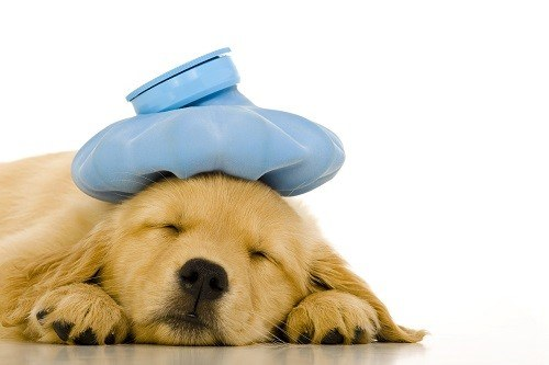 Sick Golden Retriever Puppy