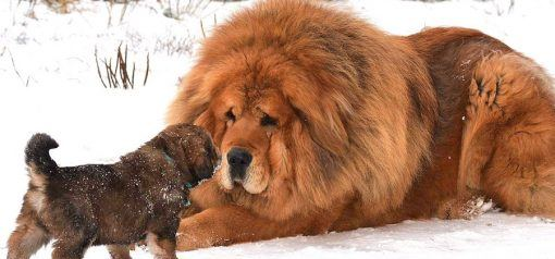 big dog breeds and large dogs