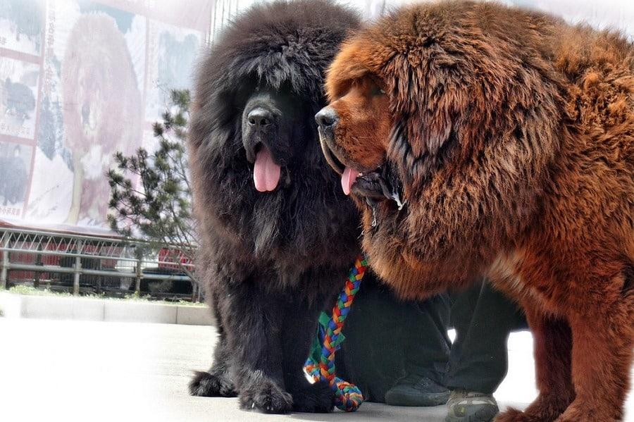 Tibetan Mastiff Fact Sheet