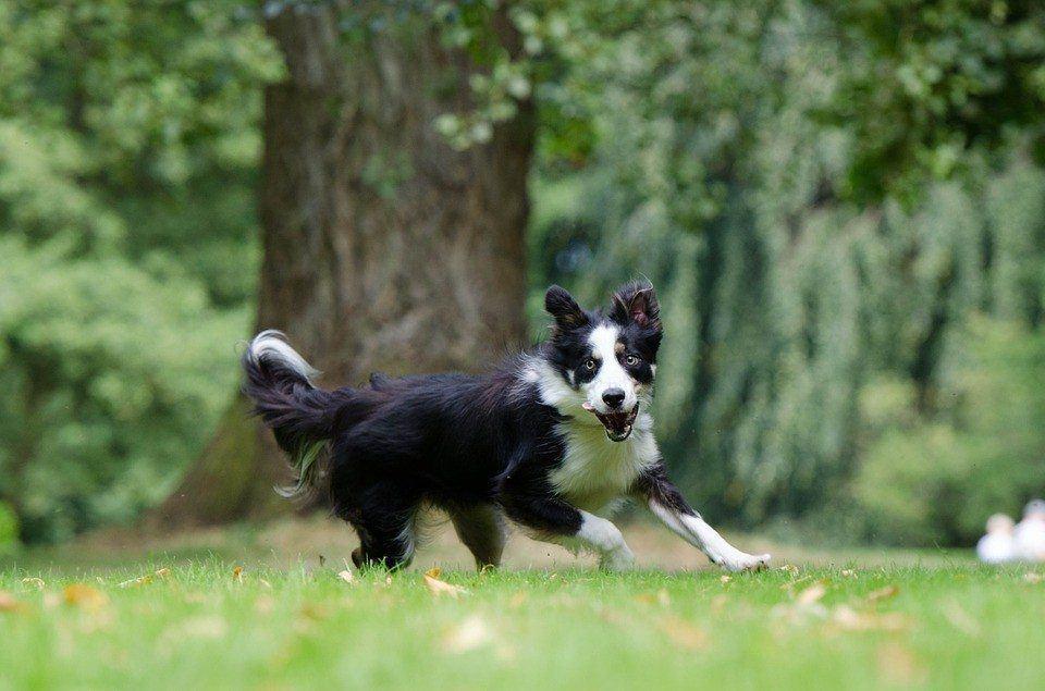 high energy dog breeds