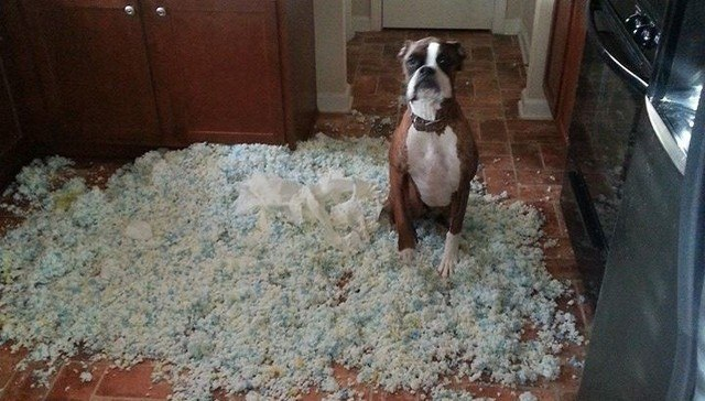 Dog after he made a mess in the house