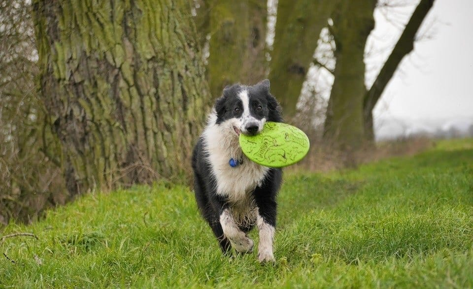 Dog playing with frisbee