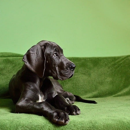 Great Dane sitting on a sofa