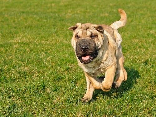 Shar-Pei dog that looks like a lion