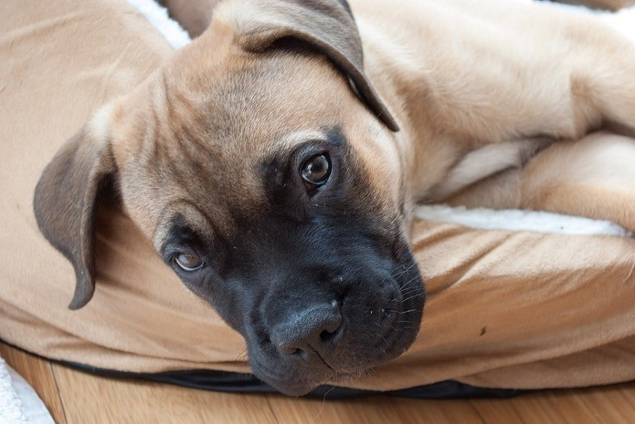 best big dogs for apartments