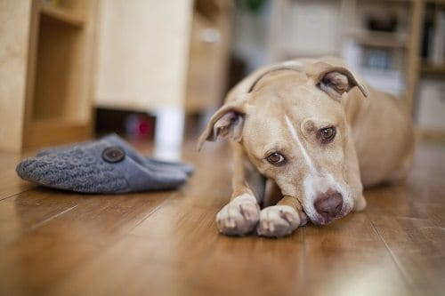 Sad puppy next to a pair of slippers