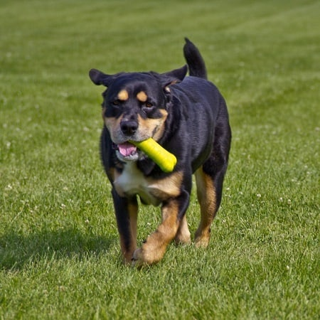 Dog running with a bone shaped chew toy