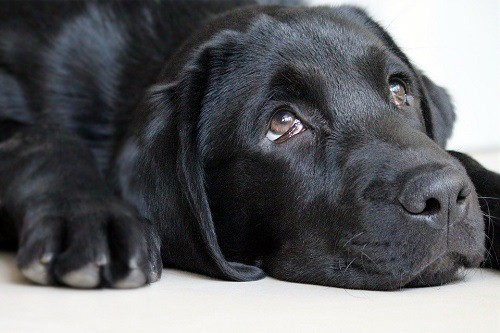 Beautiful Black Puppies Eyes