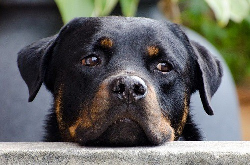 Rottweiler puppy looking sad