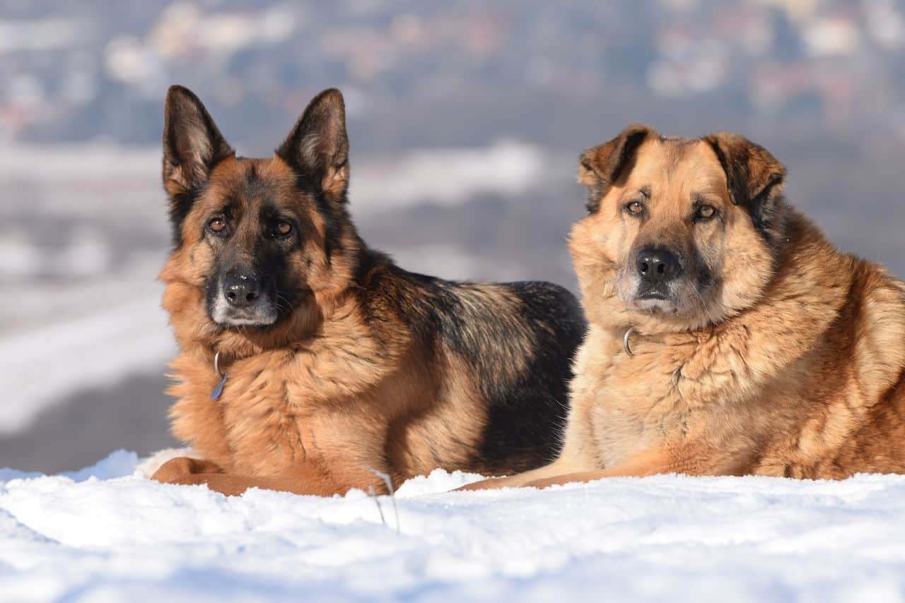 large-breed-dogs