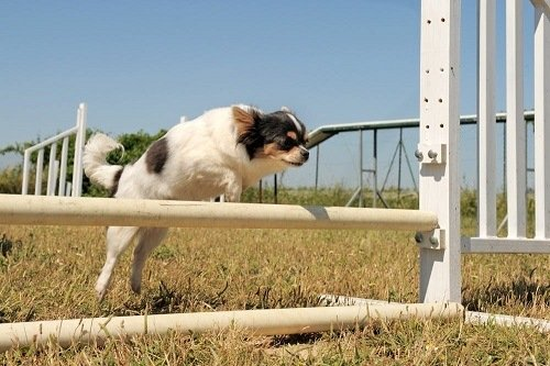 Small dog leaping over an obstacle