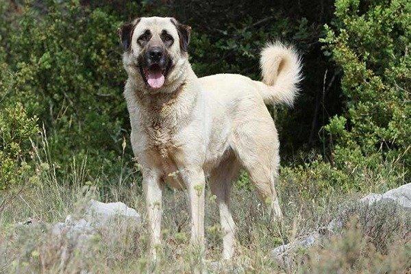 Anatolian Shepherd.