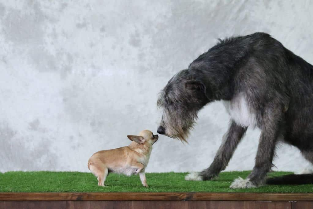 What Is The Biggest Dog Breed In The World