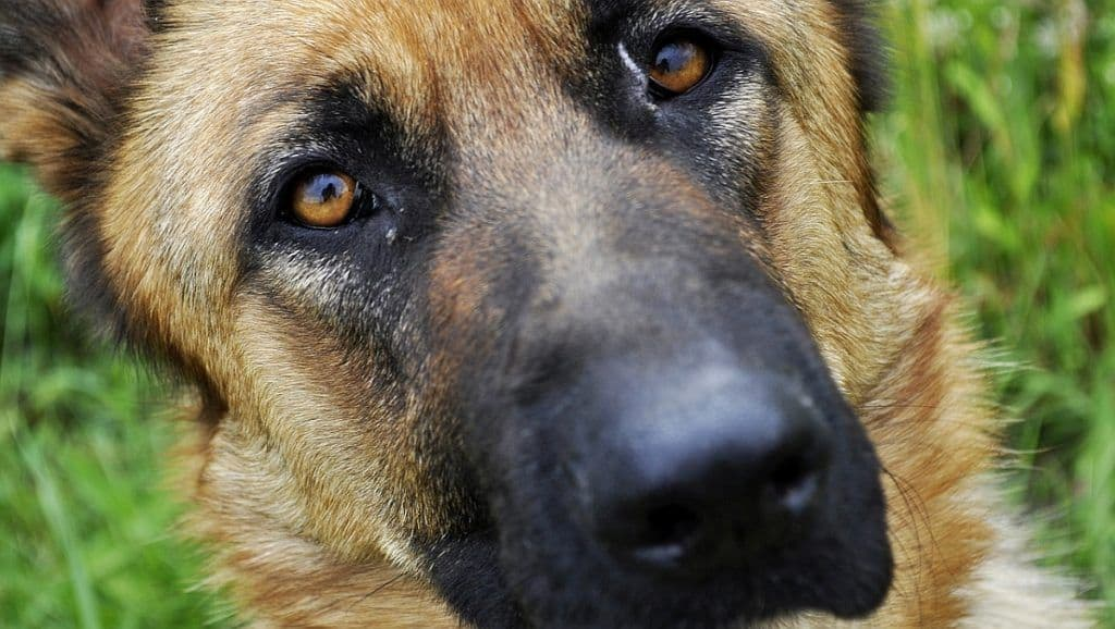 Dog Eye Infection Home Remedies: Symptoms and Natural Treatments