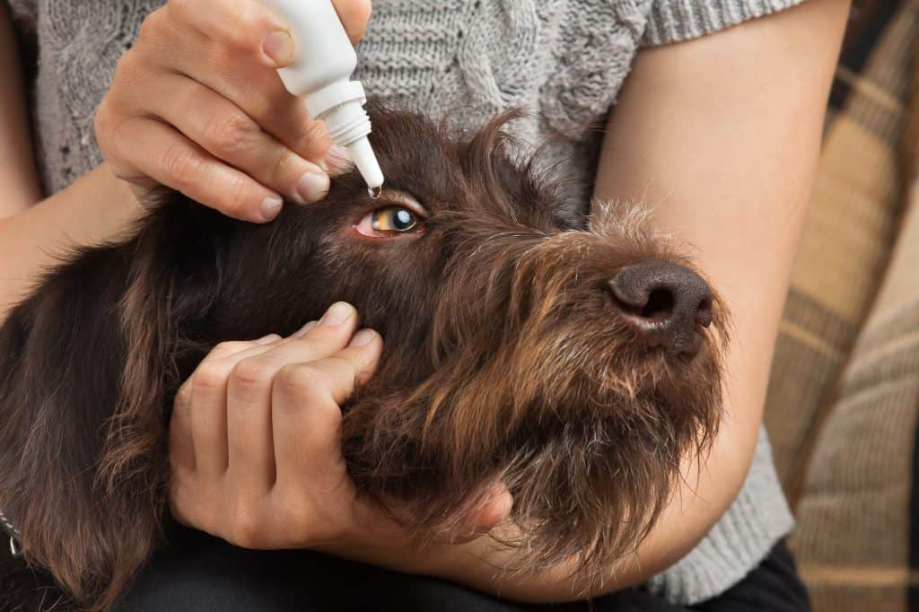 dog eye infection home remedy