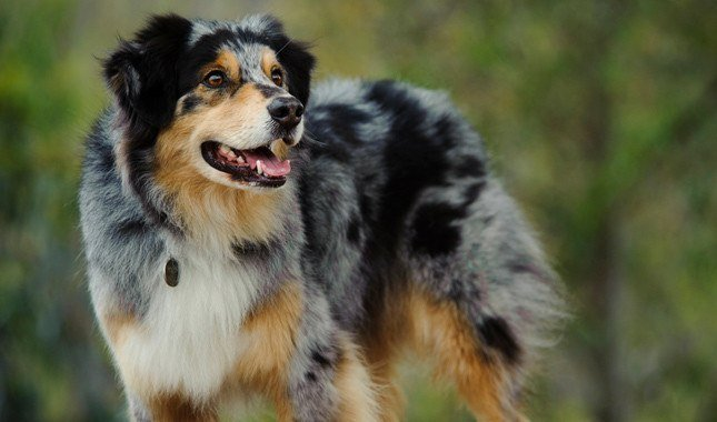 Australian Shepherd best outdoor dog