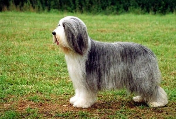Bearded Collie outdoor dog