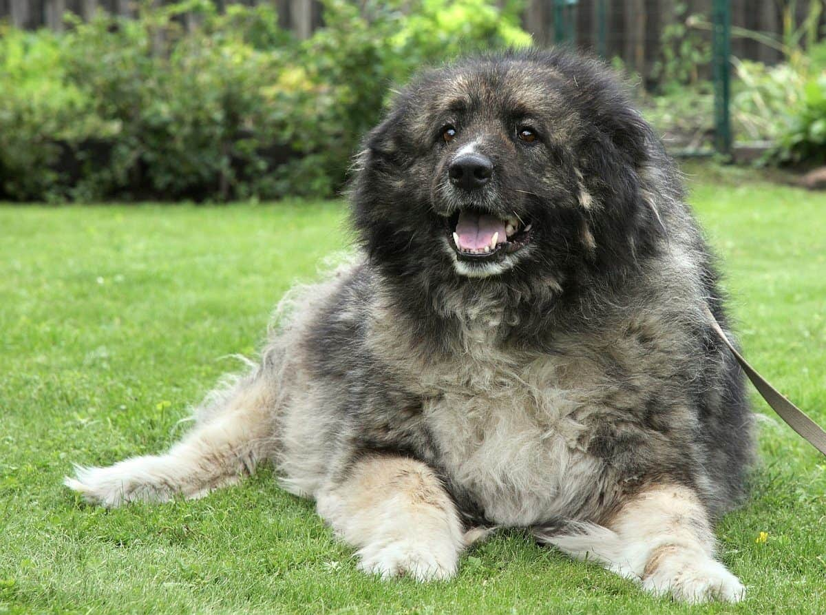 Caucasian Shepherd Dog temperament