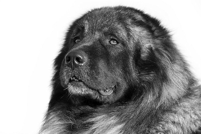 Caucasian Mountain Dog 3