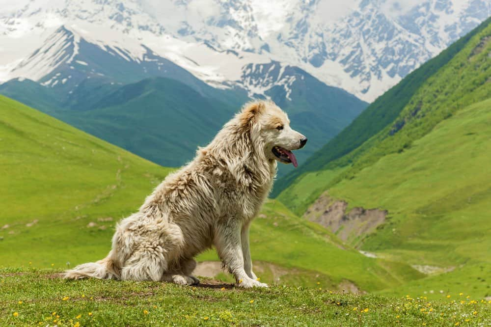Caucasian Mountain Dog 2