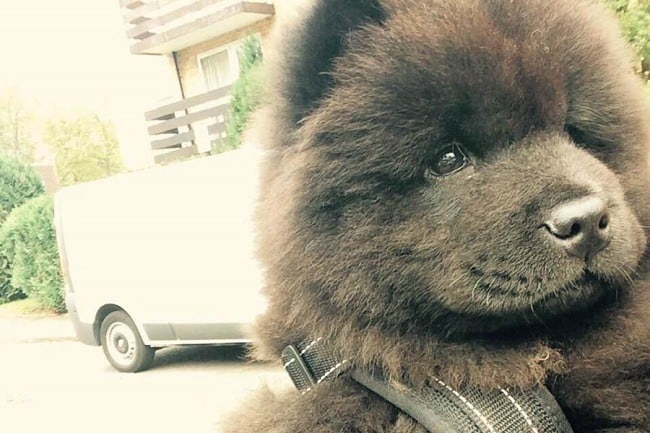Brown Chow Chow