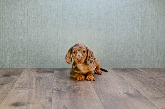The 15 Best Indoor Dogs For Homebodies Canine Weekly