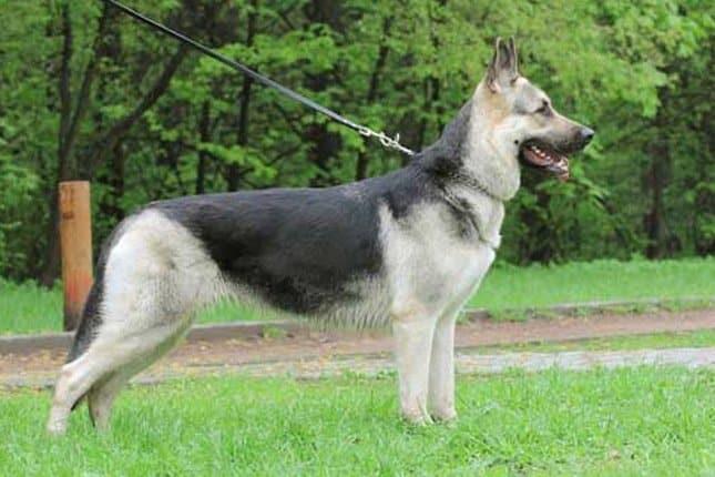East-European Shepherd.