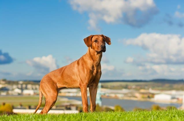 outdoor dog breeds
