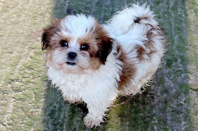 Cute Shi Tzu Dog