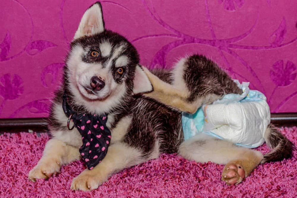 Dog Diapers for Large Breeds