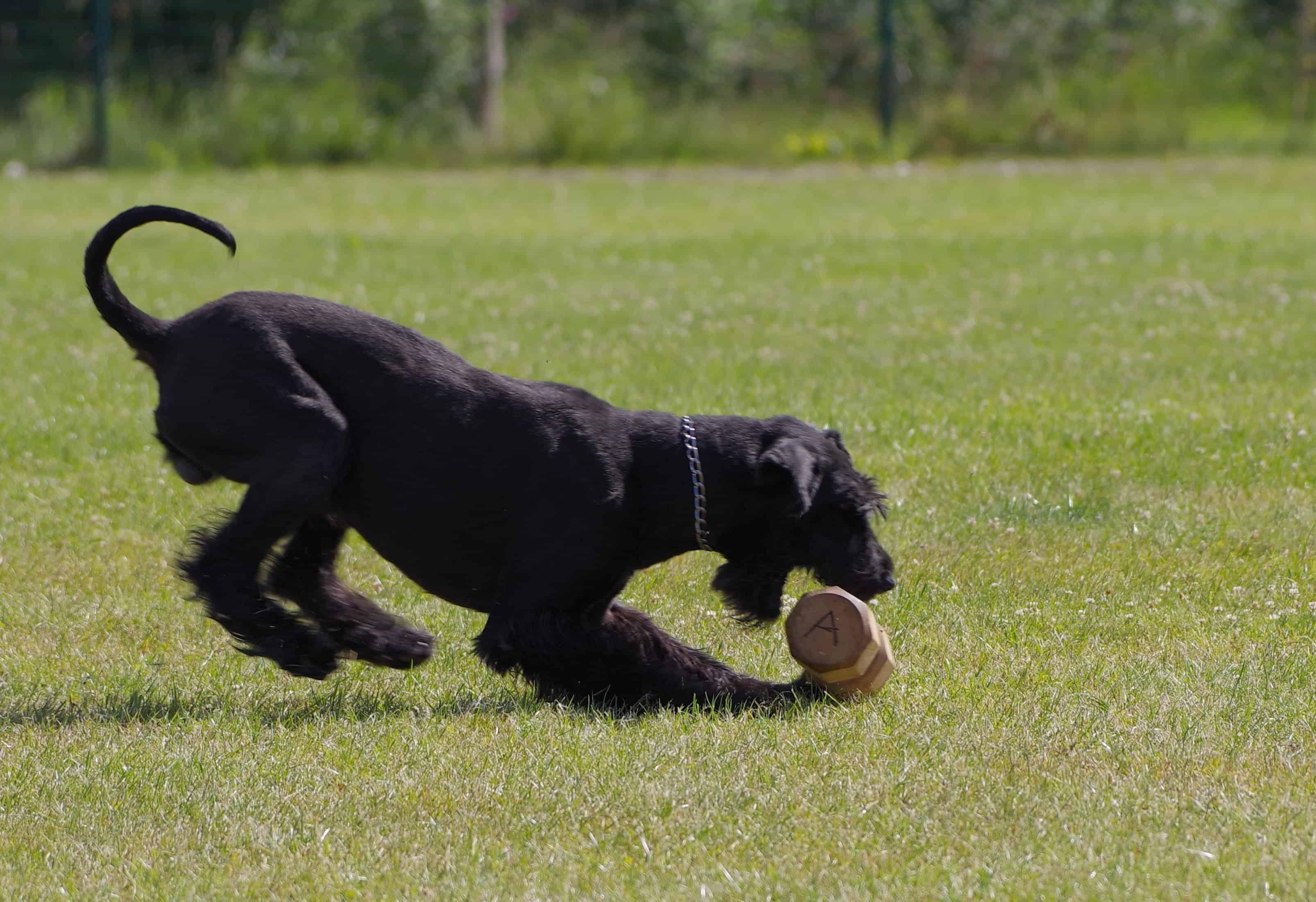 Giant Schnauzer Guard Dog