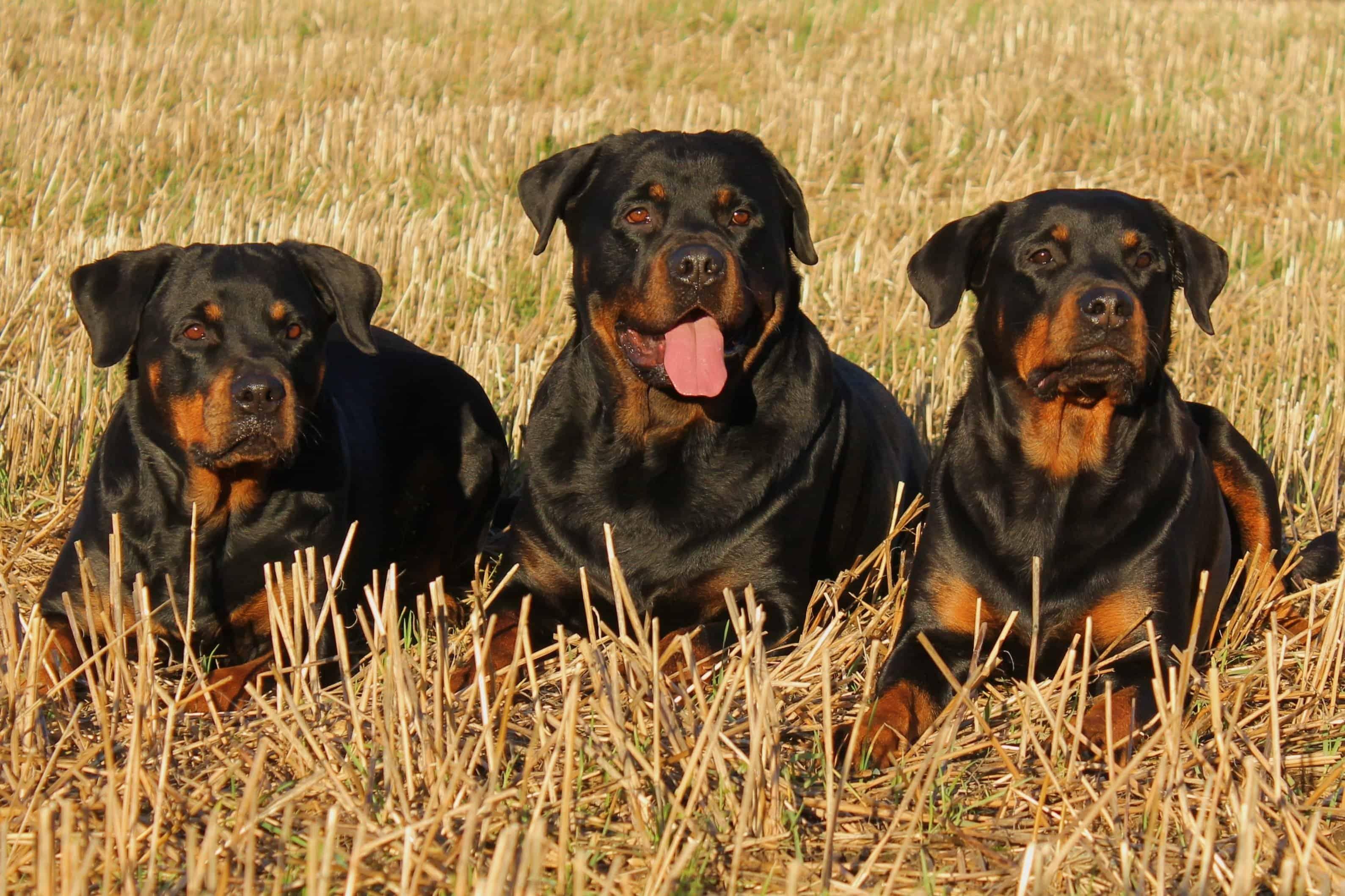 Rottweiler Guard Dogs