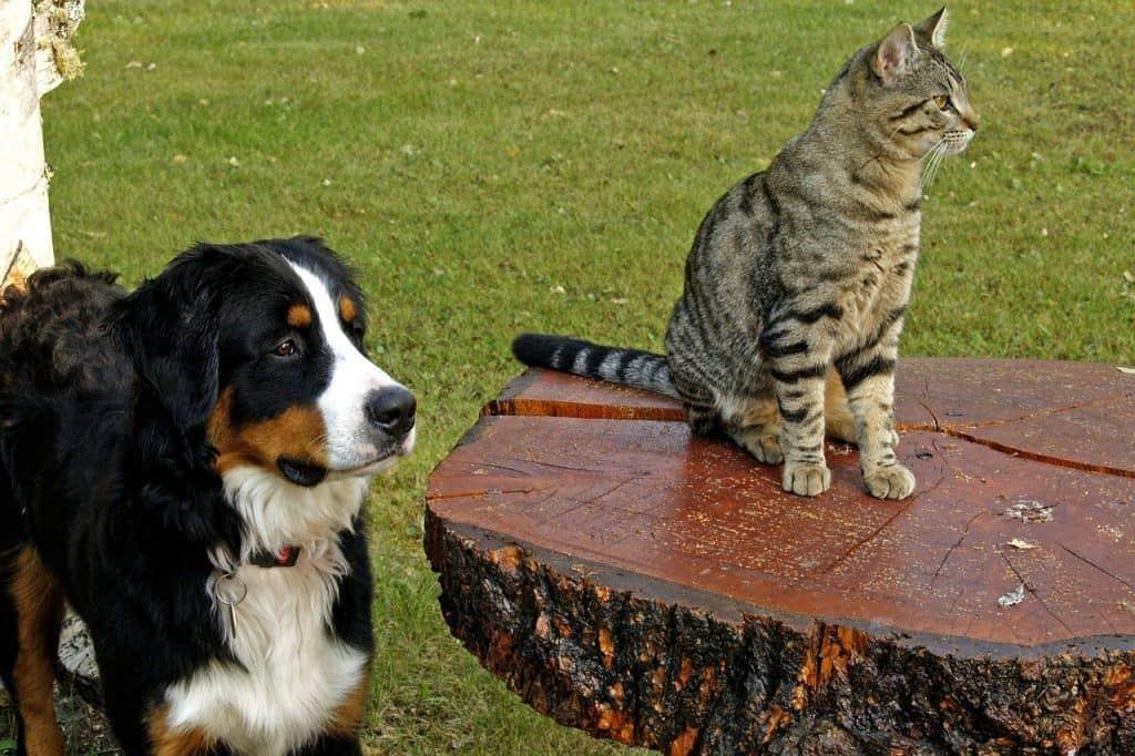 bernese mountain dog. bernese mountain dogs dog