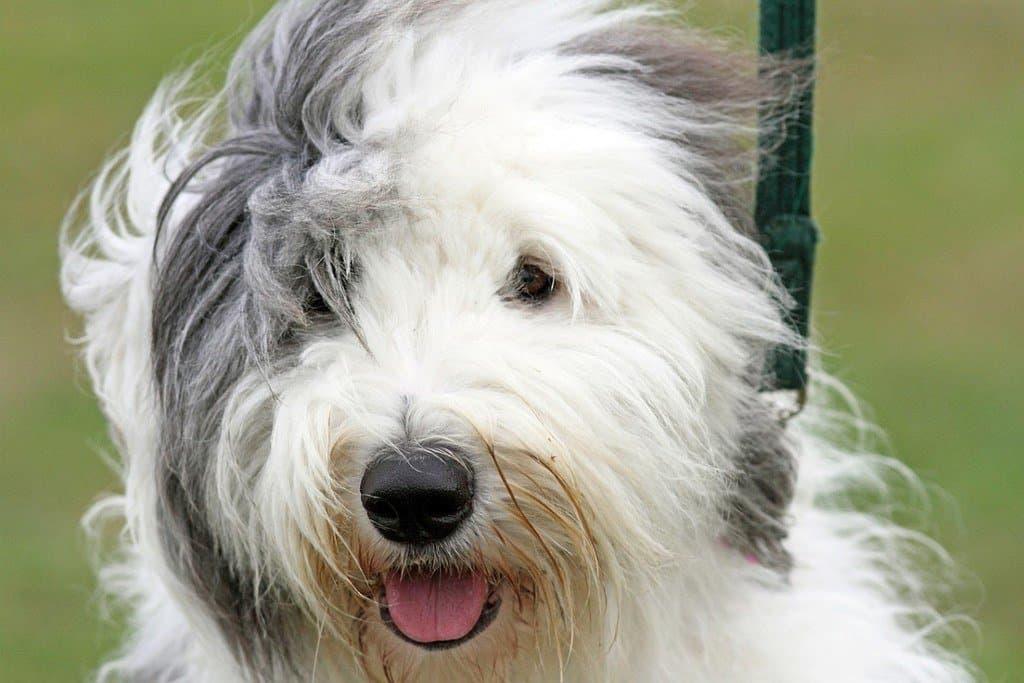 big fluffy dog breeds
