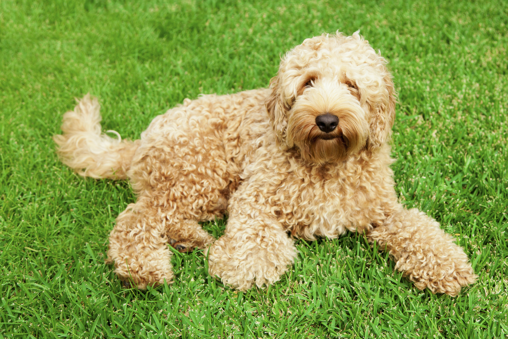 Labradoodle mixed breed