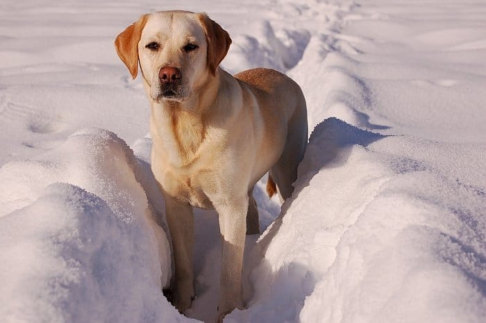 golden retriever vs labrador retriever 2