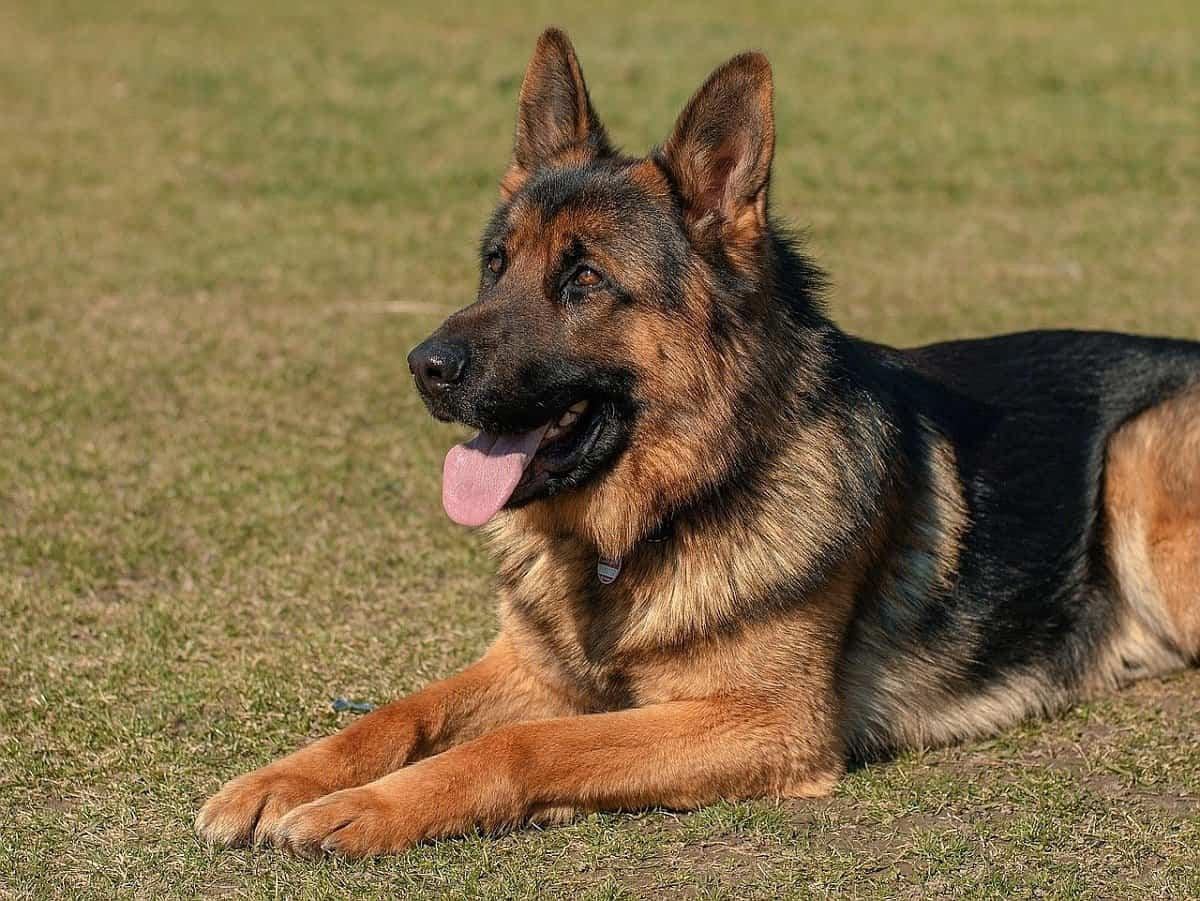 German shepherd outside dog