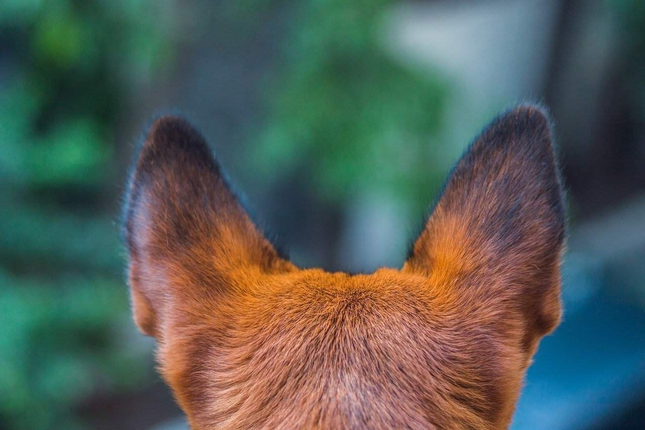 What To Do For A Dog Ear Infection Home Remedy