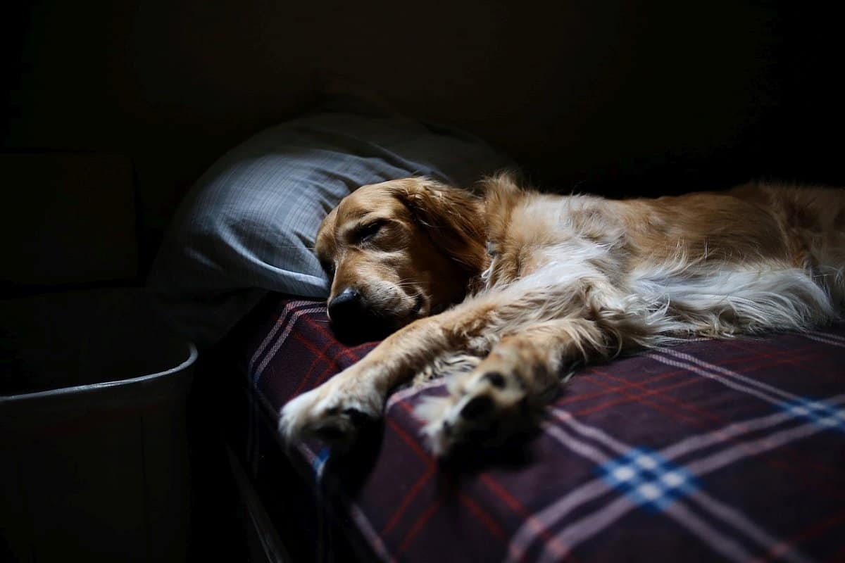 melatonin dosage for dogs