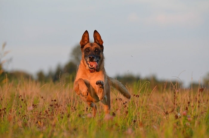 Belgian Malinois Vs German Shepherd 2