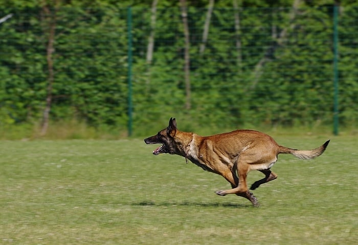 Belgian Malinois Vs German Shepherd 4