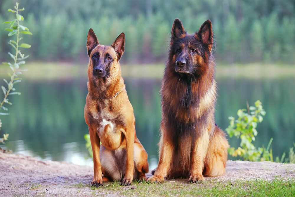 belgian malinois and german shepherd