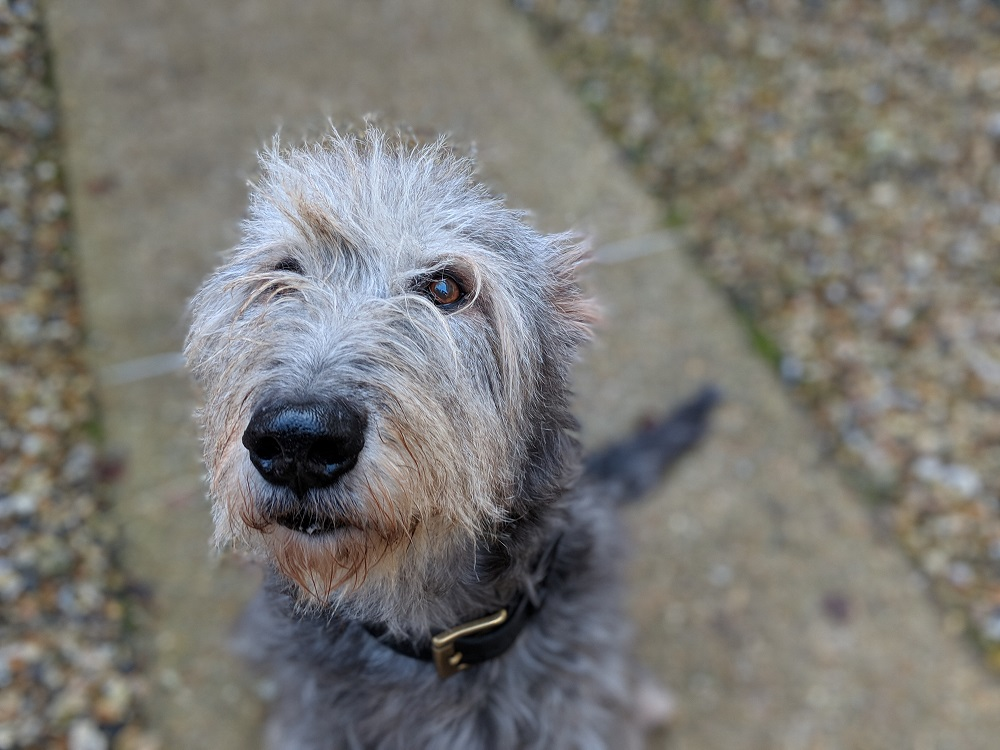 irish wolfhound close up