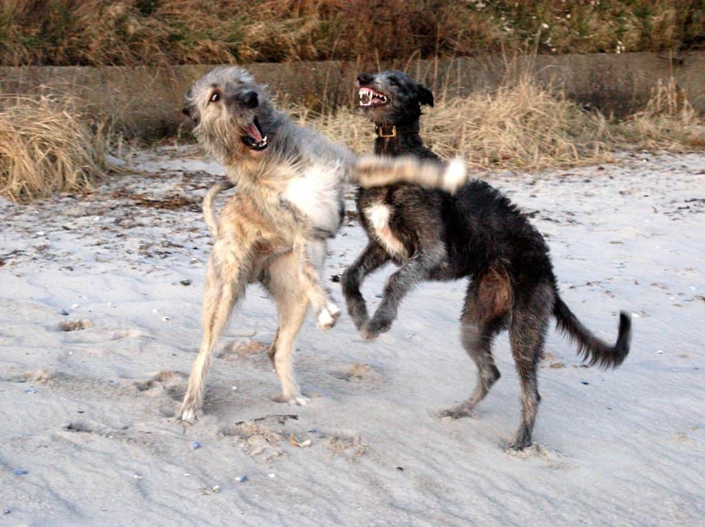 irish wolfhound vs scottish deerhound